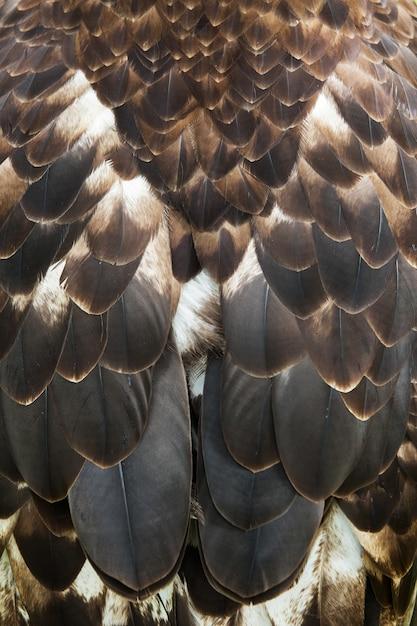 Закройте коричневые перья красивого орла, пересекая степь и беркута Premium Фотографии
