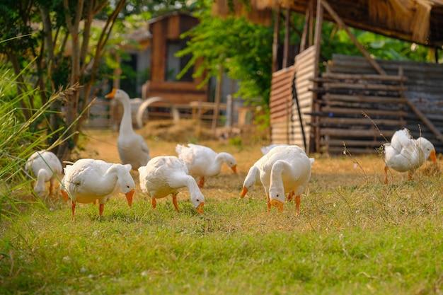 白いアヒルが庭を散歩します。 Premium写真