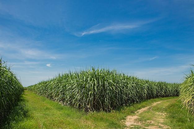 サトウキビ畑と道路 Premium写真