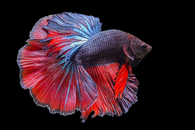 Бетта рыбы, сиамские боевые рыбы на черном фоне Premium Фотографии