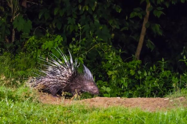 Малайский дикобраз в природе в ночное время Premium Фотографии