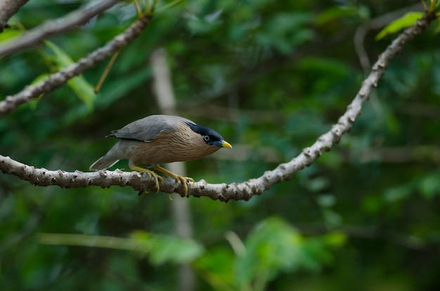 自然の木のブラヒミ・スターリング Premium写真
