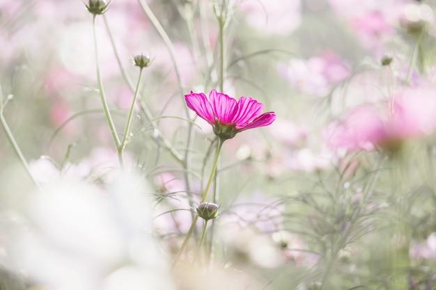 Розовый цветок космос в саду Premium Фотографии