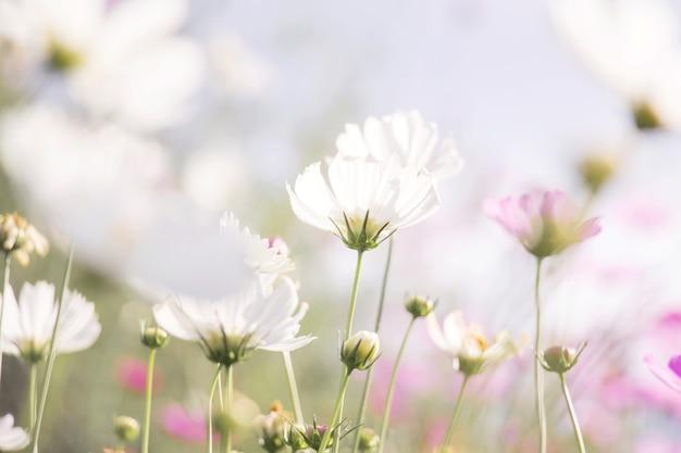 Цветок белого космоса в саду Premium Фотографии