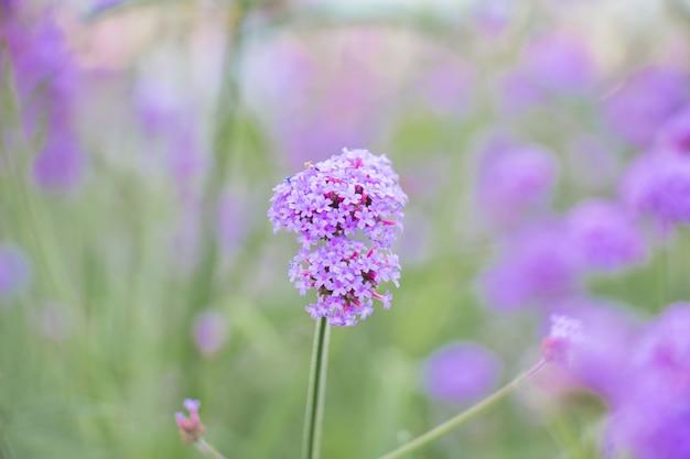 Фиолетовый цветок вербины в саду Premium Фотографии