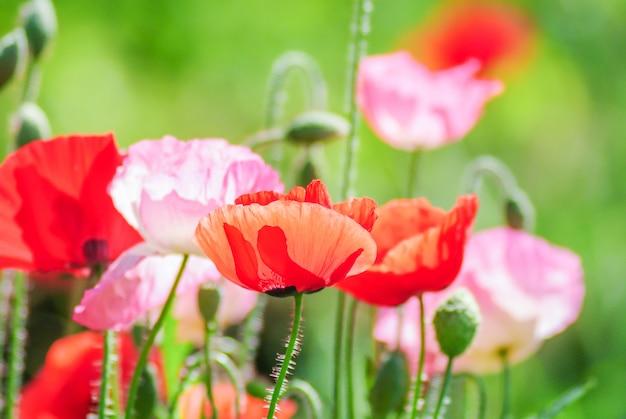 Красные и розовые цветы мака в поле, красный мак Premium Фотографии