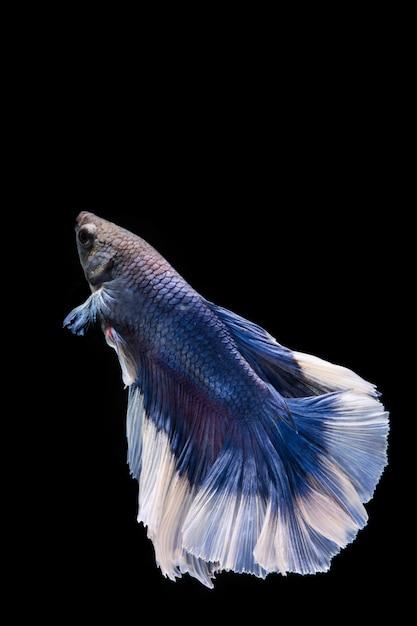 Синяя бетта рыба, сиамские боевые рыбы Premium Фотографии