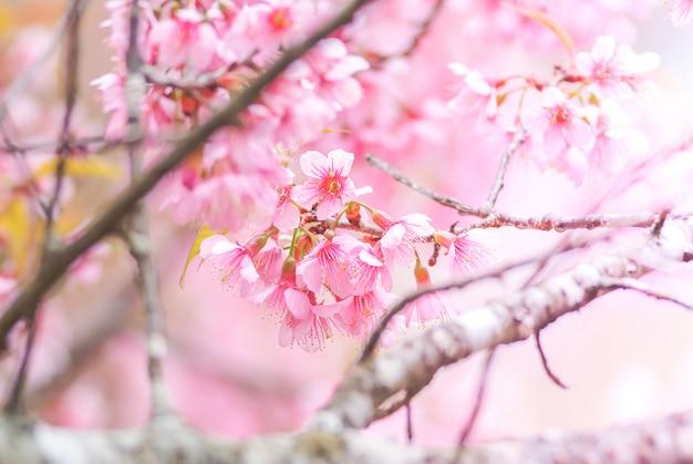 美しい桜、ピンクの桜の花の春の時間。 Premium写真