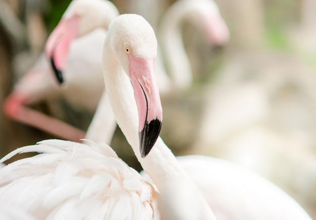 ピンクと黒のくちばしでピンクのフラミンゴのクローズアップ Premium写真