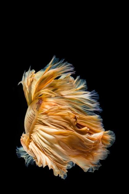Желтое золото бетта рыбы, сиамские боевые рыбы Premium Фотографии