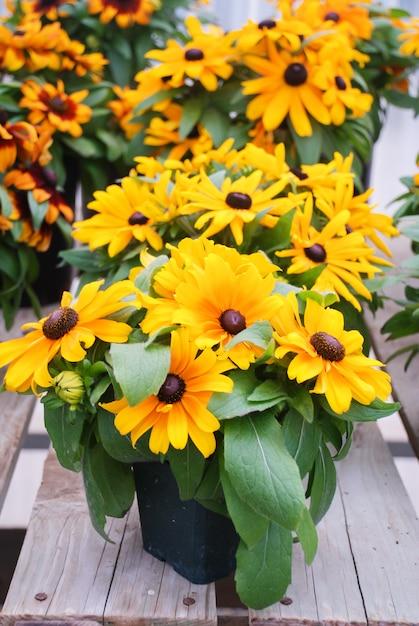 Желтые черноглазые сусаны, рудбекия хирта, цветущие в летнем саду Premium Фотографии