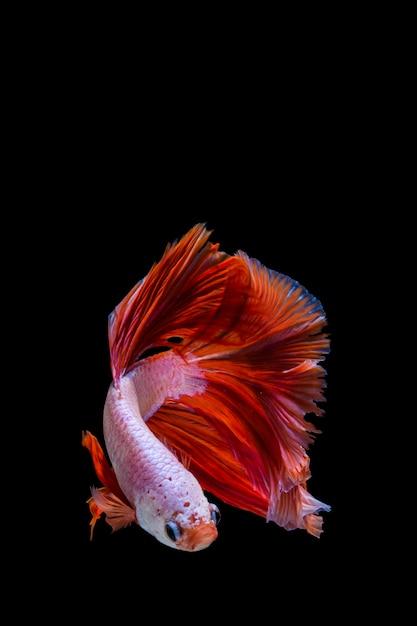 Розовые и красные бетта рыбы, сиамские боевые рыбы на черном фоне Premium Фотографии