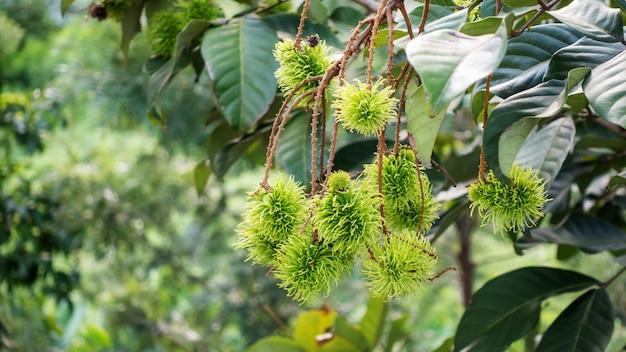 Рамбутан дерево в саду. Premium Фотографии