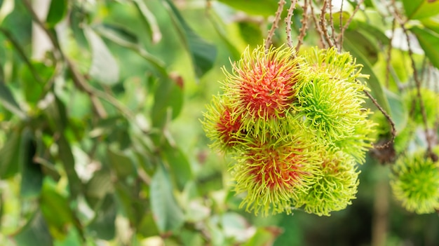 Рамбутан плоды в саду. Premium Фотографии