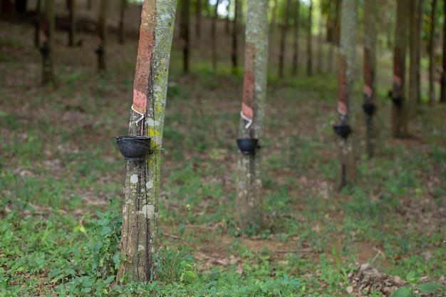 Каучуковый латекс является натуральным сырьем, которое не подвергалось различным процессам. Premium Фотографии