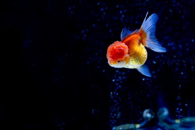 酸素の泡とタンクで泳ぐ美しいオランダ金魚。 Premium写真