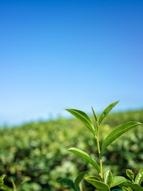 Листья зеленого чая крупного плана в предпосылке плантации чая. Premium Фотографии
