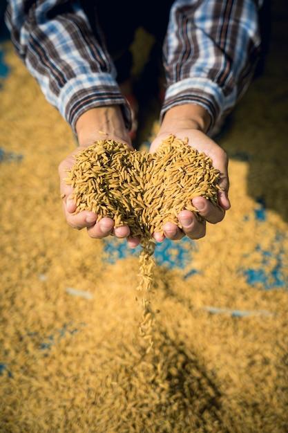 農家は収穫後、水田を手に持っています。 Premium写真