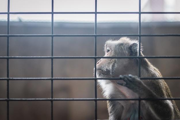 К сожалению, обезьяна в стальной клетке, заточенная эмоциональная сцена животного примата. Premium Фотографии