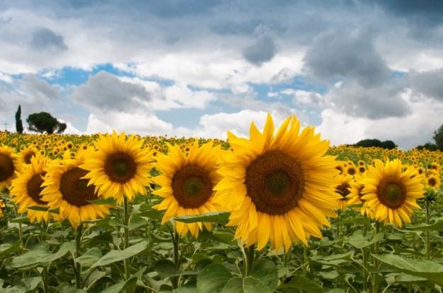 黄色いヒマワリフィールド 無料写真