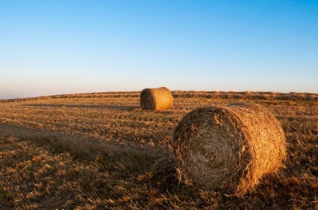 収穫期 無料写真