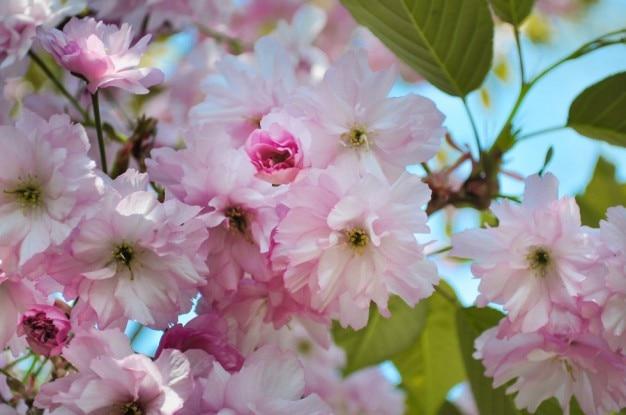 ピンクリンゴの花 無料写真