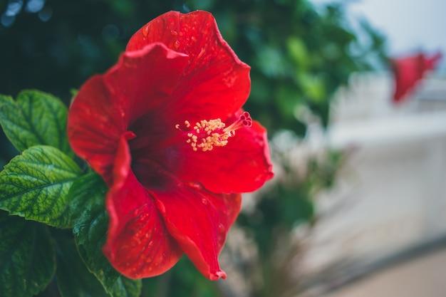 テキスト用のスペースと赤いハイビスカスアートヴィンテージトーン花 Premium写真