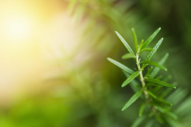ローズマリークローズアップハーブ植物と空間の背景をぼかし Premium写真