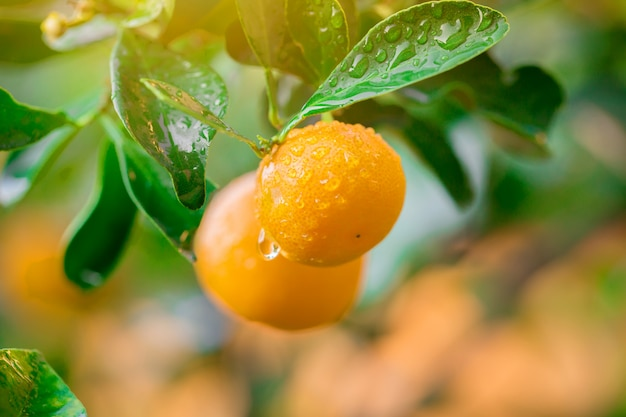 Кумкват мармелад фруктовый апельсин свежий с каплями на дереве Premium Фотографии