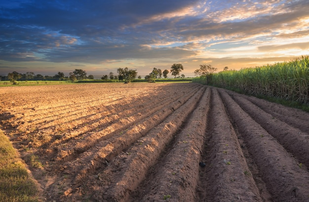 夕焼け空自然風景の背景を持つサトウキビ畑。 Premium写真