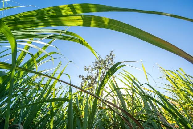 青い空と太陽光線、自然の背景を持つサトウキビ畑をまとめる。 Premium写真