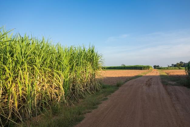 青空、自然の背景を持つサトウキビ畑。 Premium写真