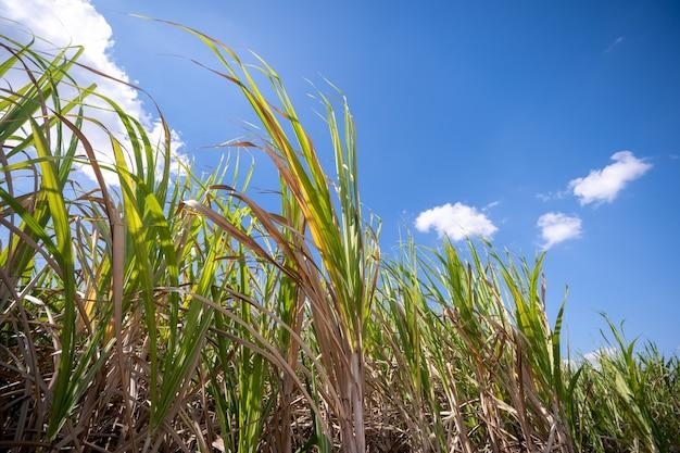 サトウキビ植物 Premium写真