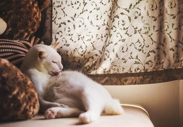 ソファの上の白い猫朝の光で窓の近く、窓の外を見て猫 Premium写真