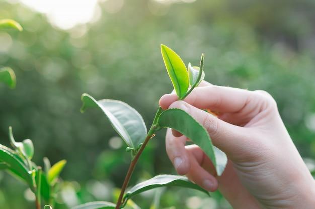 茶園の丘で手で緑茶葉の摘み先 Premium写真
