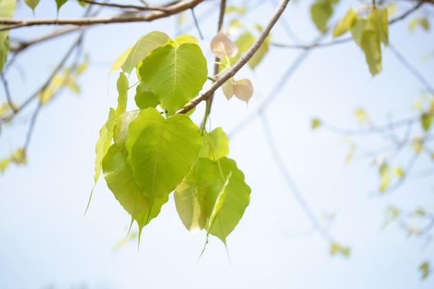 仏教の木のシンボルに菩提葉枝 Premium写真