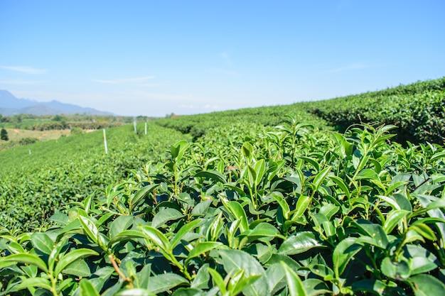 Органические фермы зеленого чая на плато в сельской местности таиланда Premium Фотографии