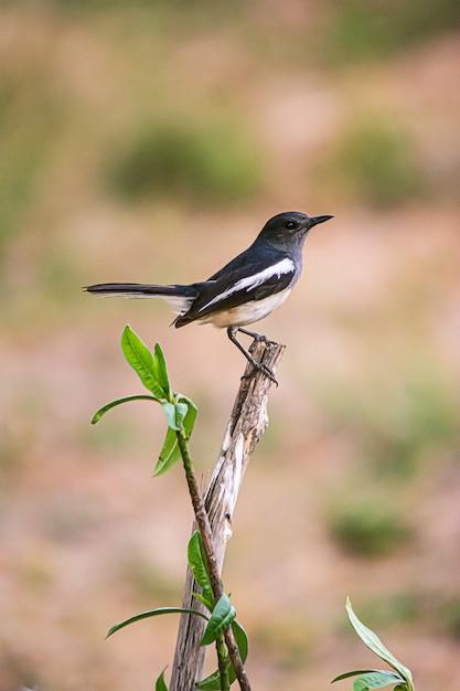 オリエンタルカササギロビン美しい鳥 Premium写真