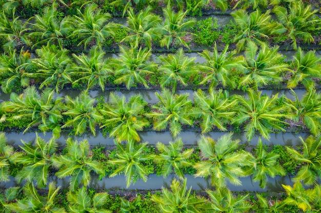 タイのアブラヤシ農園またはココナッツグリーンフィールド農業産業農場 Premium写真