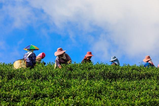 山と農家のタイの丘の上の小さな緑茶エリア Premium写真