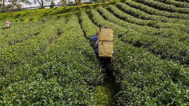 農地の緑茶のバスケットを運ぶ農夫 Premium写真