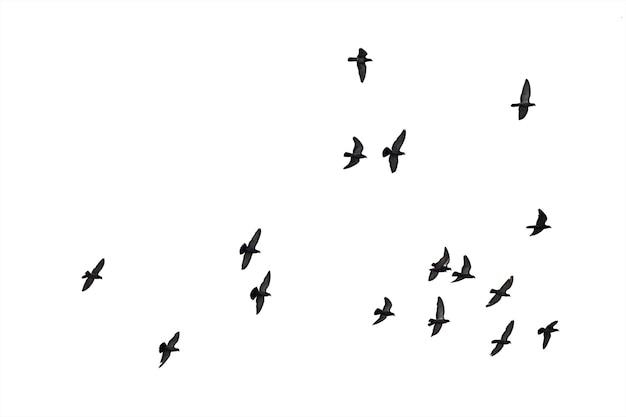 白い背景に分離されたハトの飛行の群れ。 Premium写真