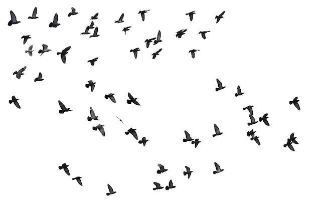 白い背景に分離されたハトの群れ。クリッピングパス。 Premium写真