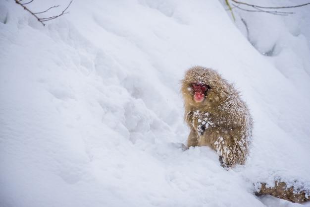 冬に雪が降る間雪の中で座っている雪猿(ニホンザル) Premium写真