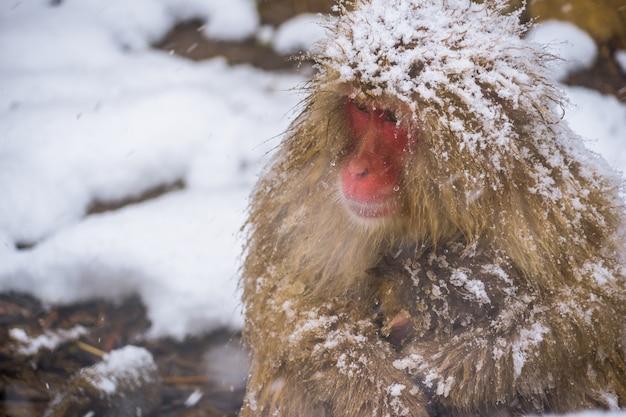 雪猿とニホンザル Premium写真