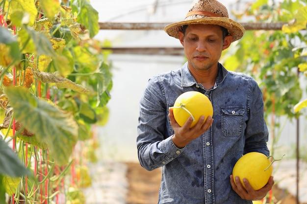 Фермеры собирают дыни в теплицах и нехимических инсектицидов. доставить клиентам Premium Фотографии