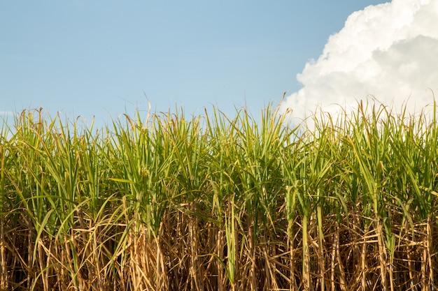 サトウキビ農園 Premium写真