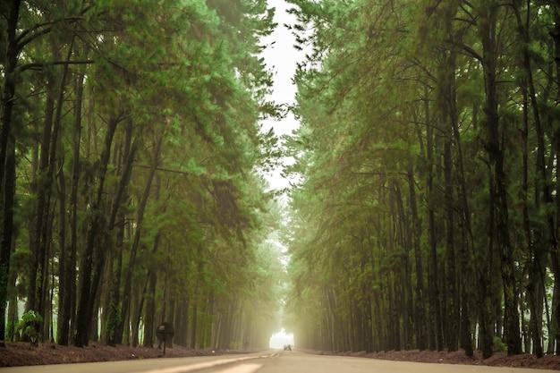松の木の霧の道の美しい景色 Premium写真