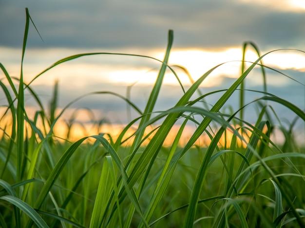 サトウキビ農園サンセットビュー Premium写真