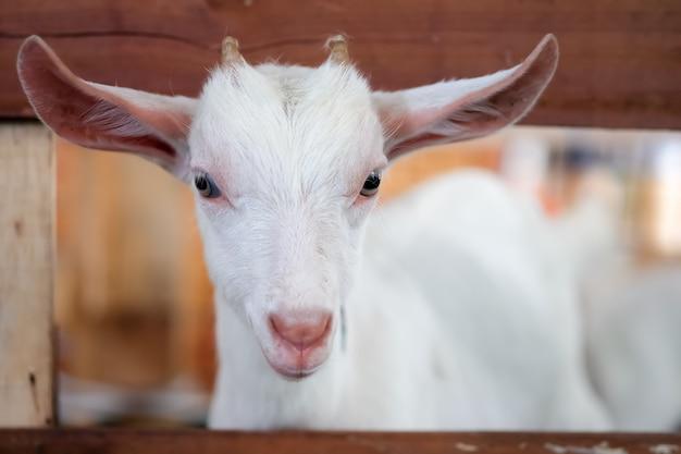 屋台の白いヤギは外を見ています。 Premium写真